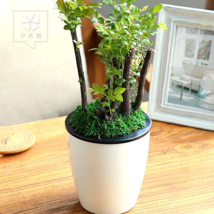 小叶紫檀水培绿植盆栽图片