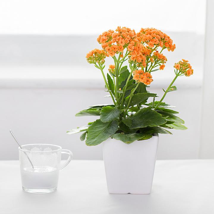 长寿花办公室绿植盆栽