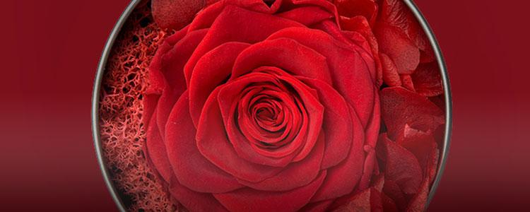 永不凋零的爱情,最配永不凋谢的鲜花