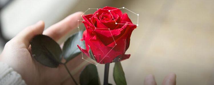 浪漫大作战:玫瑰玫瑰我爱你